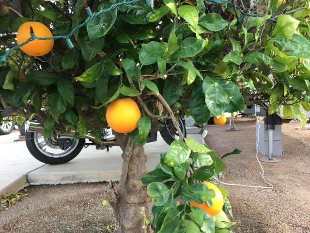 Oranges are almost ready!